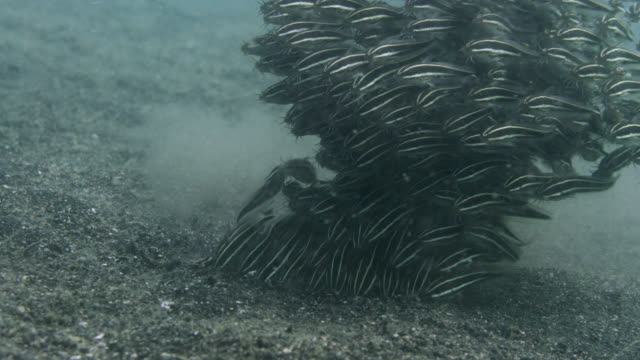 striped eel catfish (plotosus lineatus) shoal forages on seafloor, sulawesi, indonesia - fischschwarm stock-videos und b-roll-filmmaterial