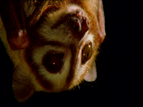 Striped faced bat looks alertly at night, New Britain, Papua New Guinea