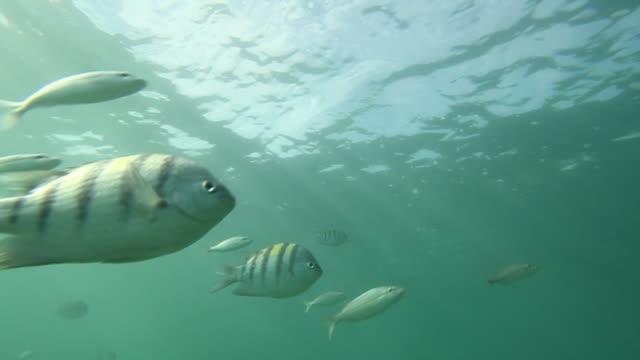 vídeos de stock, filmes e b-roll de striped fish swim near the surface of the ocean. - cardume de peixes