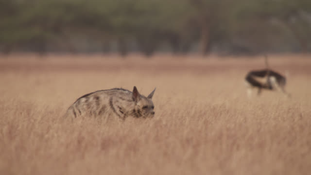 striped hyena (hyaena hyaena) prowls past blackbuck antelope (antilope cervicapra), velavadar, india - large group of animals stock videos & royalty-free footage