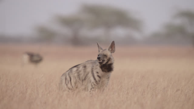 Striped hyena (Hyaena hyaena) prowls past blackbuck antelope (Antilope cervicapra), Velavadar, India