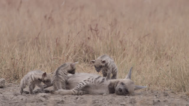Striped hyena (Hyaena hyaena) pups clamber on and suckle from mother, Velavadar, India