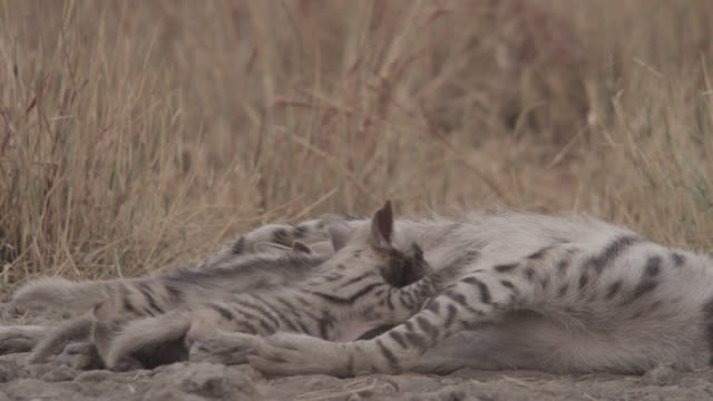 Striped hyena (Hyaena hyaena) pups suckle from mother, Velavadar, India