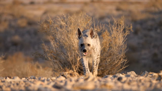 striped hyena (hyaena hyaena) walking in desert in early morning, looking at camera - scavenging stock videos & royalty-free footage