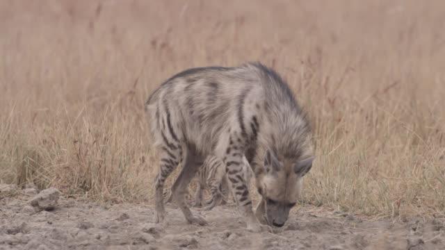 Striped hyena (Hyaena hyaena) with pups lies down on grassland, Velavadar, India
