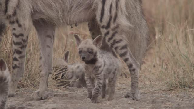 Striped hyena (Hyaena hyaena) with pups on grassland, Velavadar, India