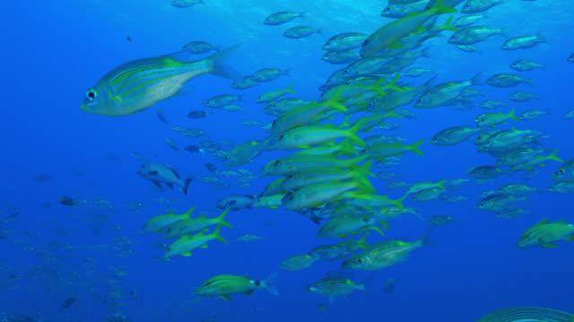 vídeos de stock, filmes e b-roll de listrado escolaridade sargo grande-olho sob a superfície do mar - recife fenômeno natural