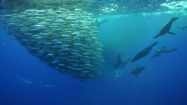 striped marlin and sea lions hunting a large mackerel bait ball off the pacific coast of baja california, mexico. - school of fish stock videos & royalty-free footage