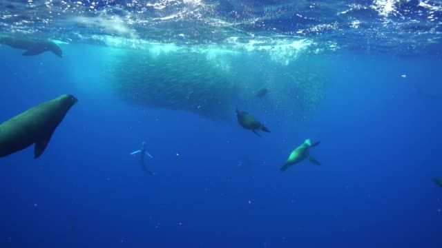 vídeos de stock e filmes b-roll de striped marlin and sea lions hunting a large mackerel bait ball off the pacific coast of baja california, mexico. - península de baixa califórnia