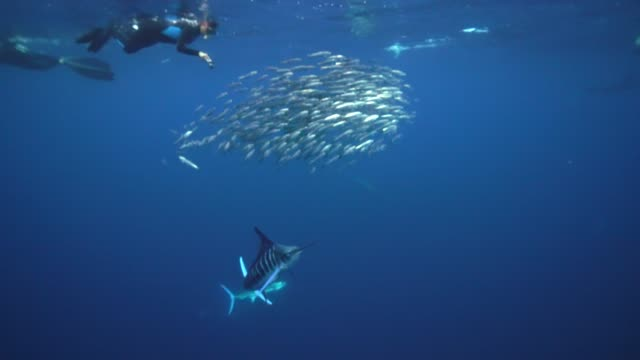 vidéos et rushes de a striped marlin and sea lions hunting a sardine bait ball as a diver looks on from above,off the pacific coast of baja california, mexico. - péninsule de basse californie