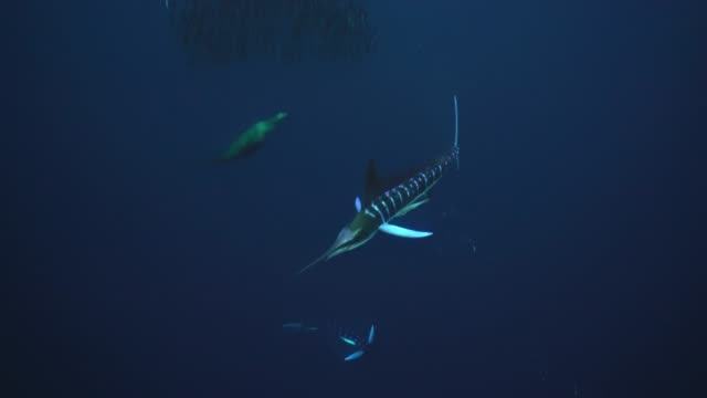 Striped marlin compete with sea lions to feed on a sardine bait ball off the Pacific coast of Baja California, Mexico.