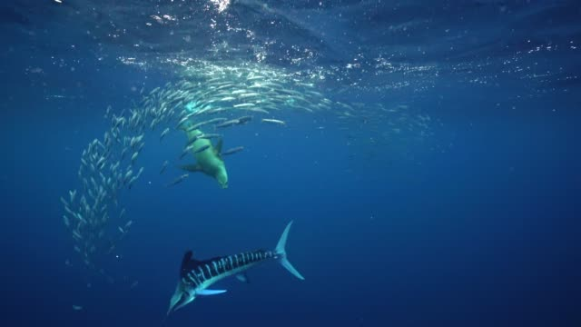 striped marlin compete with sea lions to feed on a sardine bait ball off the pacific coast of baja california, mexico. - sea lion stock videos & royalty-free footage