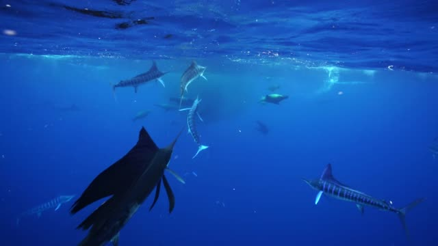 vídeos de stock e filmes b-roll de striped marlin, sailfish and sea lions hunting a large mackerel bait ball off the pacific coast of baja california, mexico. - península de baixa califórnia