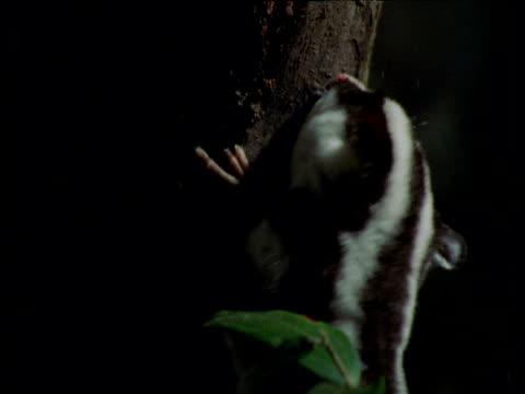 Striped possum chews at bark then exits, Queensland
