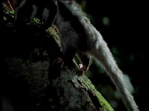 stockvideo's en b-roll-footage met striped possum climbs tree trunk and leaps towards camera, queensland - plant attribute