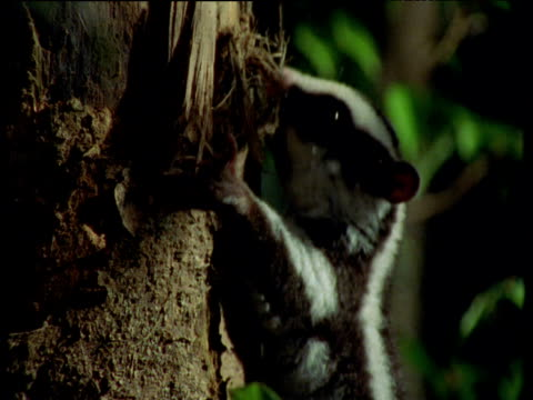 stockvideo's en b-roll-footage met striped possum climbs up tree trunk in forest, queensland - plant attribute