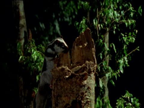 stockvideo's en b-roll-footage met striped possum leaps onto stump, then into bush, queensland - boomstronk