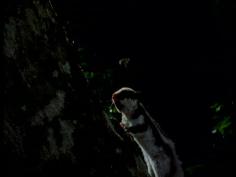 striped possum sniffs air and climbs tree trunk at night, queensland - recreational pursuit stock videos & royalty-free footage