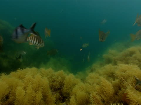 Striped, tropical fish swim over a coral reef.