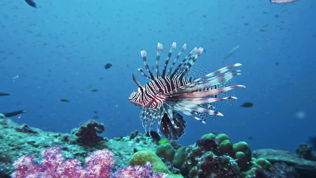 striped warning coloration of red lionfish (pterois volitans) - lionfish stock videos & royalty-free footage