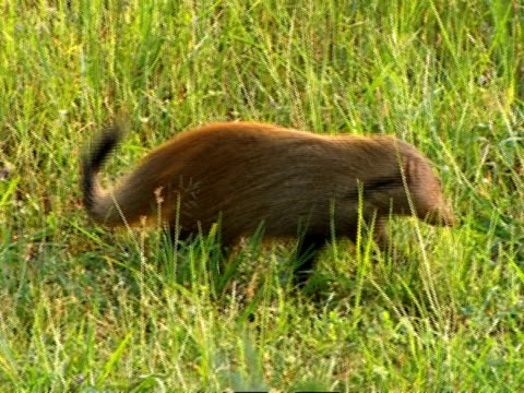 ms striped-necked mongoose (herpestes vitticollis) foraging in grass - foraging stock videos & royalty-free footage