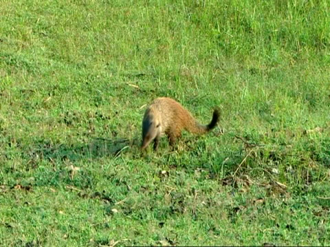 wa striped-necked mongoose (herpestes vitticollis) sniffing/foraging in grass - foraging stock videos and b-roll footage