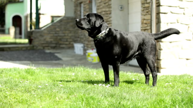 strong black Labrador Retriever guard dog barking - medium shot