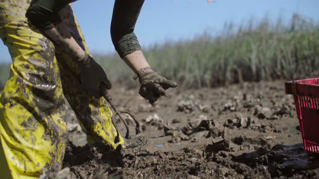 vídeos y material grabado en eventos de stock de strong fisherwoman digs for oysters in thick mud while standing in a marsh in a salt marsh on the intracoastal waterway - seguir actividad móvil general