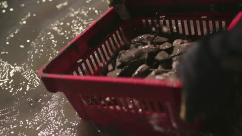 slo mo. cu. strong fisherwoman sifts thick mud from a basket of oysters next to a boat during low tide in a saltmarsh in the intracoastal waterway - canal stock videos & royalty-free footage