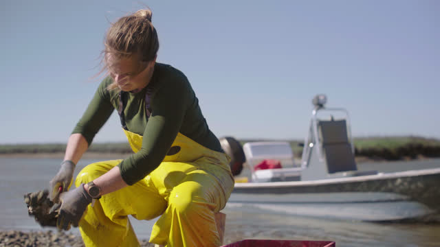 vidéos et rushes de strong fisherwoman sits on a bucket, uses a knife to separate oysters from larger clusters and throws the individual oysters into a basket in a salt marsh along the intracoastal waterway - pêcheur