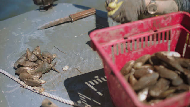 cu. strong fisherwoman uses her hands to separate oysters from larger clusters and throws the individual oysters into a basket in a salt marsh along the intracoastal waterway - incentive stock videos & royalty-free footage