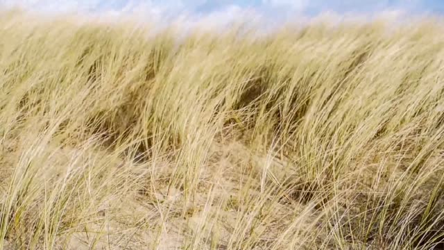 strong gusts on marram grass-finistere - marram grass stock videos and b-roll footage