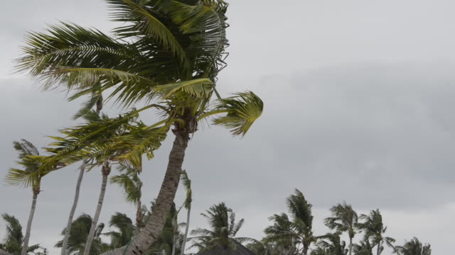 Strong wind blowing palm trees
