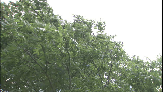 strong winds bend treetops. - branch stock videos & royalty-free footage