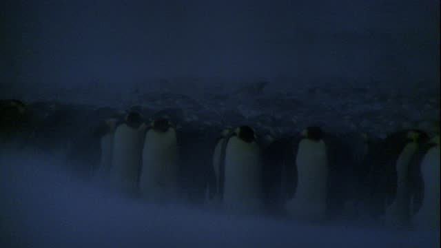 Strong winds blow snow past a massive colony of Emperor penguins.