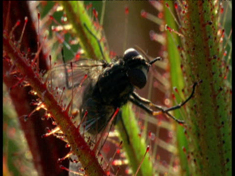 struggling fly trapped on sticky carnivorous sundew plant - carnivorous plant stock videos and b-roll footage
