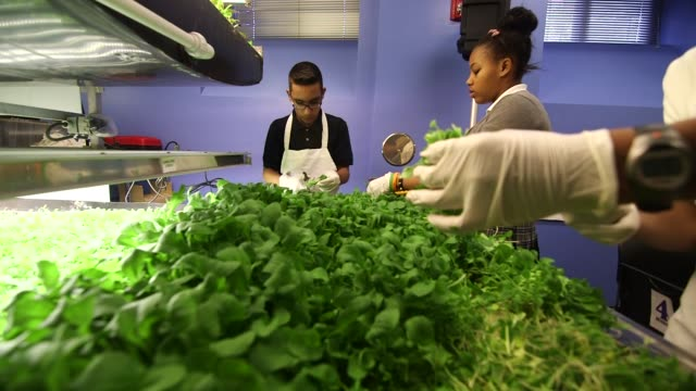 students harvest plants from an aerofarms solution chamber in a cafeteria at philip's acedemy school in newark new jersey us on october 29 2014 shots... - カット切り替え点の映像素材/bロール