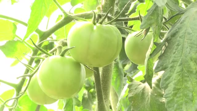 students have grown a variety of agricultural products for the first time at the agriculture school in somalia, founded by turkey-based agencies.... - gewächshäuser stock-videos und b-roll-filmmaterial
