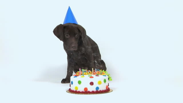 ms studio shot of chocolate labrador puppy and birthday cake - birthday stock videos and b-roll footage