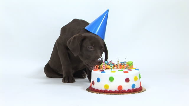 ms studio shot of chocolate labrador puppy licking birthday cake - geburtstag stock-videos und b-roll-filmmaterial