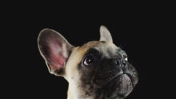 Studio Shot Of French Bulldog Puppy Licking Lips Against Black Background