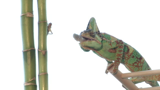 MS, ZI, Studio shot of male veiled chameleon (Chamaeleo calyptratus) catching cricket
