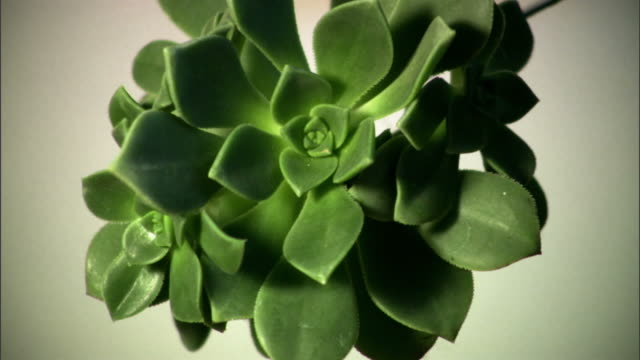 CU, Studio shot of succulent plant, California, USA