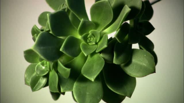 CU, Studio shot of succulent plant, California, USA