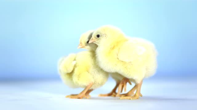 HD: Studio Shot Of Three Baby Chickens