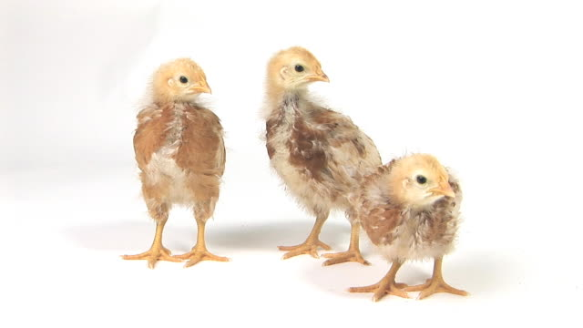 MS Studio shot of three chicks