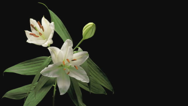 t/l cu studio shot of three white lilies opening against black background - three objects stock videos & royalty-free footage
