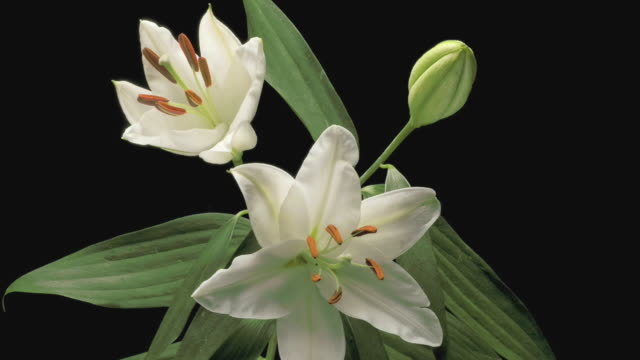 t/l cu zo studio shot of three white lilies opening against black background - three objects stock videos & royalty-free footage