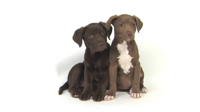 ms studio shot of two chocolate labrador puppies - welpe stock-videos und b-roll-filmmaterial