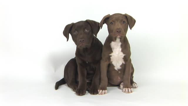 MS Studio shot of two Chocolate Labrador puppies